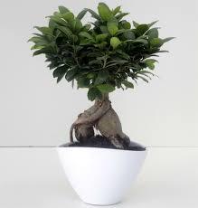 Bonsai Ginseng – bonsai