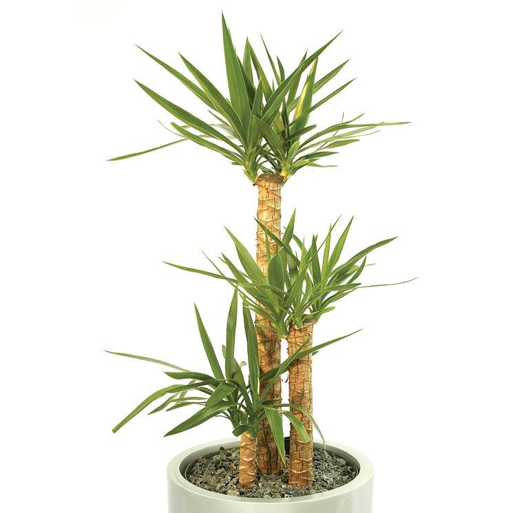 Tronco yucca – yucca