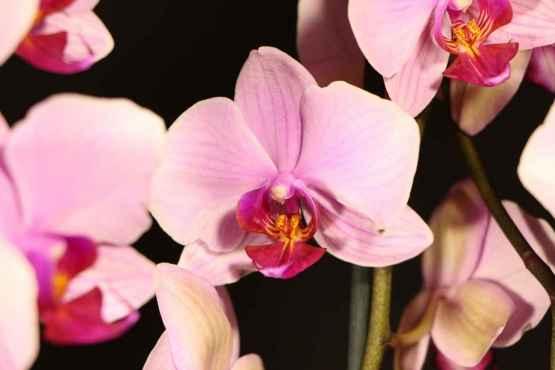 Orchidea Phalaenopsis con vaso – IMG 7886 1