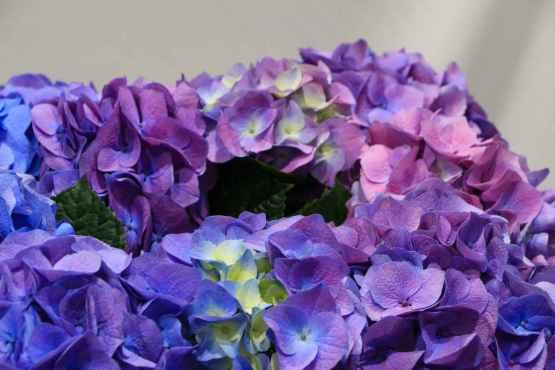Ortensia in vaso – IMG 8934 32