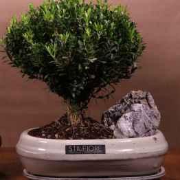 Bonsai BUXUS – bonsai.sito
